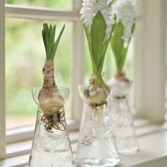 Growing Hyacinths is one of my favourite things to look forward to in Spring... these are so lovely.