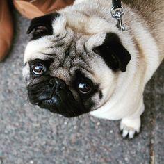 Cute, chubby pug