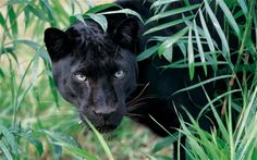 Playful Panther Cat Toy - The Cat Whisperer®