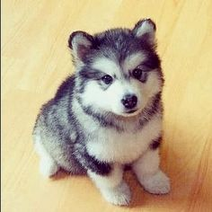 Pomsky- half Pomeranian half husky. I WILL get this dog someday! Adorable!