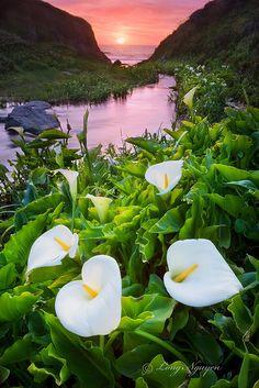 Calla Lilly Valley in spring, Big Sur, California