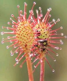 Sundews - an easy to care for carnivorous plant - from the Fly Paper Trap variety.