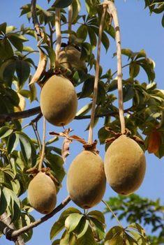 Baobab, kiri zeggen ze in Guinea We hebben er ook ijsjes van gegeten, lekker!