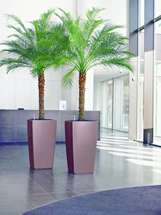 Driveway Phoenix Roebellenii Dwarf / Pygmy Date Palm Tree , Find Complete Details about Phoenix Roebellenii Dwarf / Pygmy Date Palm Tree,Phoenix Palm Tree from Aquatic Plants Supplier or Manufacturer-Sur Tropical Plants & Foliage Potted Palm Trees, Potted Palms, Indoor Palm Trees, Indoor Palms, Trees To Plant, Tree Planters, Outdoor Planters, Indoor Outdoor, Palm Trees Landscaping