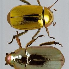 gold silver beetle