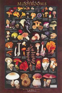 Edible Forest Floor Mushrooms Posters: each beautiful 24 X 36 inch mushroom poster illustrates and describes numerous edible mushrooms. Mushroom Hunting, Mushroom Art, Mushroom Fungi, Mushroom Culture, Mushroom Ideas, Edible Mushrooms, Stuffed Mushrooms, Poisonous Mushrooms, Medicinal Plants
