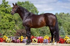 The Oldenburg horse turns heads with their powerful built and stance. This impressive warmblood is commonly seen in the show jumping and dressage arena. They're top performers and many have competed in the Olympics. Most people are not aware of their unique background though.