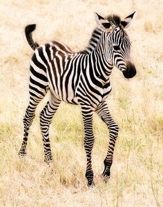 This baby zebra has just been born. They live in the tall grass with mild weather.They learn to do things like running and fleeing from predetours . But for know he is being nursed by his mom. These baby zebras can be easily killed by alligators, lions , jugars, and hyenas.