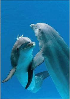 Photographic Print: Bottlenose Dolphins, Pair Dancing Underwater by Augusto Leandro Stanzani : whale Orcas, Photo Dauphin, Beautiful Creatures, Animals Beautiful, Animals And Pets, Cute Animals, Strange Animals, Dolphin Photos, Dolphin Images