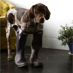 German Shorthair in boots, going hunting :)