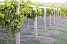 Fiesta de los Viñedos en Flor – Flowering Vineyards