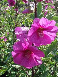 lavatera | LAVATERA thuringiaca 'Red Rum' | Evergreen Nursery
