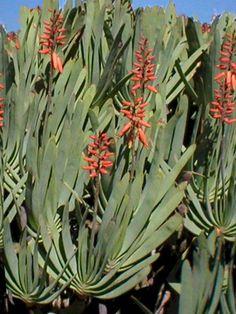 Aloe plicatilis - Fan Aloe  → Plant characteristics and more photos at: http://www.worldofsucculents.com/?p=5022