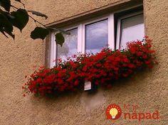 Pani Monika má muškáty ako z rozprávky: Prezradila nám jej tajomstvo bujarého kvitnutia, teraz to môže vyskúšať každý! Red, Gardening, Shovel, Lawn And Garden, Horticulture