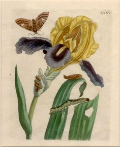 Maria Sibylla Merian (1647-1717), born Frankfurt, Germany. From an early age, Maria had a fascination with plants and insects. She was encouraged her to take up drawing, for which she showed great promise. Her exploration of the lifecycle of caterpillars, their transformation into butterflies and the plants they used to feed themselves became the basis for her first two books.