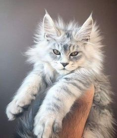 Interested in owning a Maine Coon cat and want to know more about them? The Maine Coon kitten adoption will be a great choice. Certainly unique, this coon kitten is fabulous. Cute Cats And Kittens, Baby Cats, Kittens Cutest, Newborn Kittens, Funny Kittens, Cutest Kitten Breeds, Kittens Playing, Gato Maine, Maine Coon Kittens