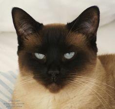Tired Siamese Cat