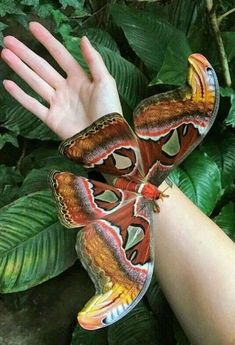 """Atlas Moth ~ Click through the large version for a full-screen view (on a black background in Firefox), set your computer for full-screen. ~ Mik's Pics """"Butterflies and Moths ll"""" board Beautiful Bugs, Beautiful Butterflies, Amazing Nature, Beautiful Things, Cool Insects, Bugs And Insects, Beautiful Creatures, Animals Beautiful, Cute Animals"""