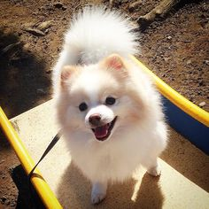.Happy Friday  . It's nice and warm today  . I feel soooo  gooood  . #maru #warmday #pomeranian #weeklyfluff #excellent_dogs #thedailypompom #IGCLUB_DOGS #IgAnimal_Snaps #pecoいぬ部 #pommerania #animalsmood #showcasing_pets #dog_features #doglovers #furrendsUpClose #get_a_dog_feature #Great_Captures_Dogs #LOVES_DOGS #lacyandpaws #cutepetclub #bestfriends_dogs #bestphotogram_dogs #nature_cuties #my_loving_pet #mydogiscutest #my_pet_feature #まる #ポメラニアン #イイお天気でイイ気分#すべり台登りたい by maru_marurun