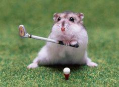 Risultato della ricerca immagini di Google per http://2.bp.blogspot.com/_6b_C4Lhkrd8/S98jJUkNKBI/AAAAAAAAAyo/c9z1fQIuqjQ/s1600/criceto-golf.jpg