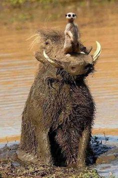 Es gibt sie doch: Pumbaa und Timon ☺ - New Ideas Funny Animal Photos, Funny Animal Memes, Cute Funny Animals, Cute Baby Animals, Otters Funny, Funny Kittens, Animals Photos, Horse Photos, Funny Memes
