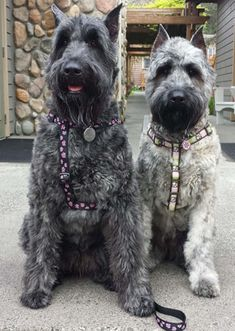 Looking for a reputable breeder of Bouvier Des Flanders dogs? You will find names & numbers of responsible Bouvier Des Flander breeders! Dogs For Sale, Cute Dogs And Puppies, Baby Dogs, Pet Dogs, Doggies, Giant Schnauzer For Sale, Mini Schnauzer, My Champion, Group Of Dogs