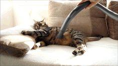 Gestofzuigde kat