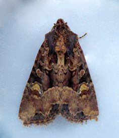 Common Rustic (Mesapamea secalis)