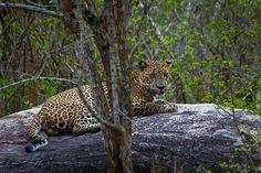 Leopard - Yala National Park, Sri Lanka