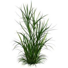 ornamental grass png - Google Search