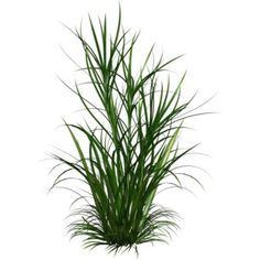 ornamental grass png - Google Search