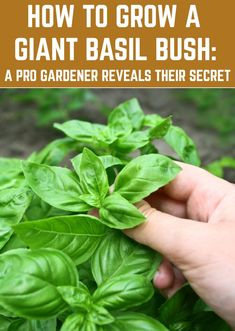Potager garden 567664728034775810 - It's a devilishly simple secret that will enable you to grow huge basil bushes. Source by natllivingideas Container Plants, Container Gardening, Herb Gardening, Indoor Gardening, Gardening Scissors, Pallet Gardening, Gardening Gloves, Growing Herbs, Growing Vegetables