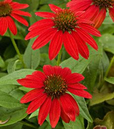 Salsa Red Echinacea. Blooms July- Sept.  Attracts hummingbirds, butterflies and songbirds.