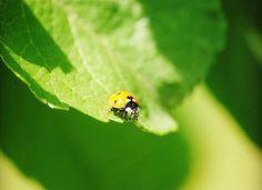 ladybugs on a leaf