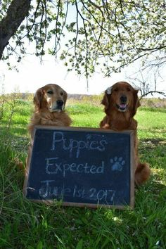 We are expecting Golden Retriever puppies