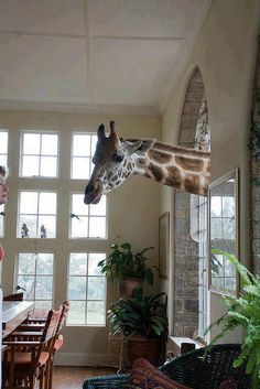This picture is for real. I was there and saw it with my own eyes. It's close to Nairobi, Kenya where a very wealthy family lets the wild Giraffes move on his lawn and around the house. The first time I saw one head coming through the window, I almost had a heart attack !