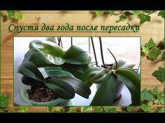 Мои орхидеи спустя два года после пересадки - YouTube