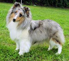 One day I will have a blue merle!