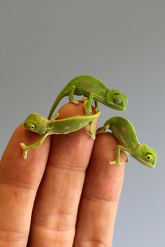 They might not be an endangered species, but for the staff at Australia's Taronga Zoo, these (adorable!) veiled chameleon hatchlings are important ambassadors for conservation. Cute Baby Animals, Animals And Pets, Funny Animals, Les Reptiles, Reptiles And Amphibians, Cute Reptiles, Veiled Chameleon, Chameleon Eyes, Paludarium