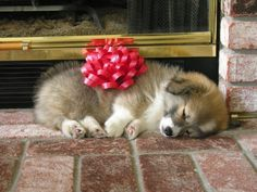 corgiaddict: Leia the fluffy corgi puppy. Fluffy Corgi Puppies, Corgi Dog, Dogs And Puppies, Fluffy Animals, Animals And Pets, Cute Animals, Pets 3, Pet Dogs, Cute Creatures