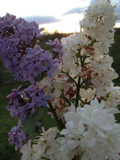 The first lilacs of spring