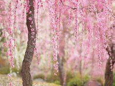 21 Most Beautiful Japanese Cherry Blossom Photos - Beauty