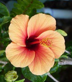 I love the colors in this Orange Hibiscus