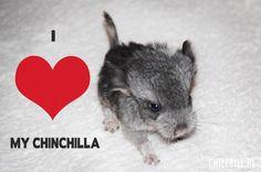 Baby Chinchilla <3 :)