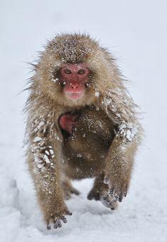Snow Monkey by Masashi Mochida - Photo 173358841 / 500px