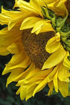 Sunflower Canvas Print / Canvas Art by Ann Bridges - Garten Fotografie Sunflowers And Daisies, Yellow Flowers, Sun Flowers, Oil Painting Flowers, Watercolor Flowers, Drawing Flowers, Happy Flowers, Beautiful Flowers, Beautiful Pictures
