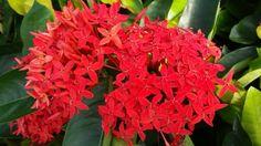 Иксора ярко-красная, или Иксора кошенильная (Ixora coccinea)
