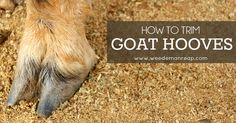 How to Trim Goat Hooves - You've been doing great taking care of your new goats, and now it's time to learn how to trim goat hooves! (yay!) Welcome to farm life.If