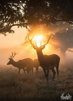 Breathtaking Photos Of British Wildlife Animals - The Forest King By Max Ellis Monarch In Freezing Fog By Max Ellis Halo Of Fire One Of Those Golden Mornings Hazy Sunset With Stags Halo Of Fire By Max Ellis Contemporary Art Prints For Sale Just Nature Animals, Animals And Pets, Cute Animals, Nature Nature, Wild Nature, Wild Life, Wildlife Photography, Animal Photography, Newborn Photography