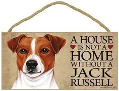 Lovely Jack Russell Terrier #jrt